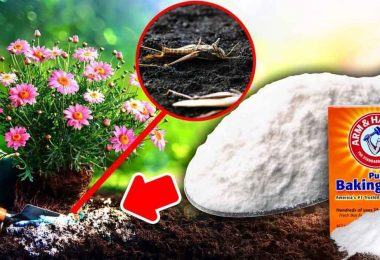 Le bicarbonate de soude pour jardin?