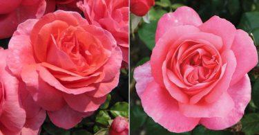 Comment cultiver et entretenir les rosiers