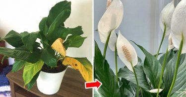 Comment prendre soin du Spathiphyllum toute l'année ?