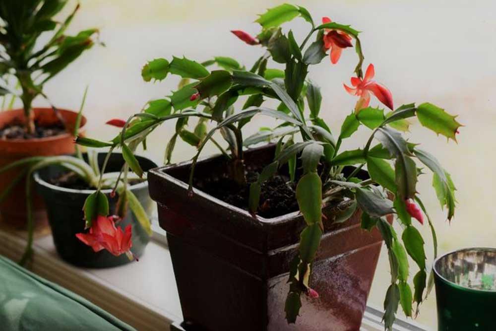 Les cactus de Noël : Comment les faire pousser et entretenir ?